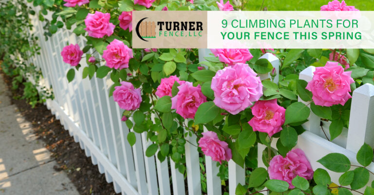 9 Climbing Plants for Your Fence This Spring